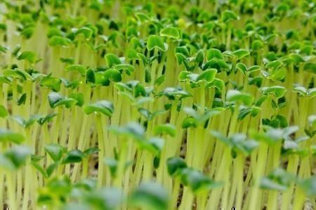 Выращивание микрозелени и проростков